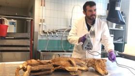 Le scan 3D élucide la question du poids du tigre de Tasmanie, plus gros marsupial carnivore ayant existé !